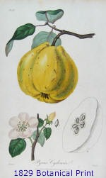 1829 Botanical Print of a Quince