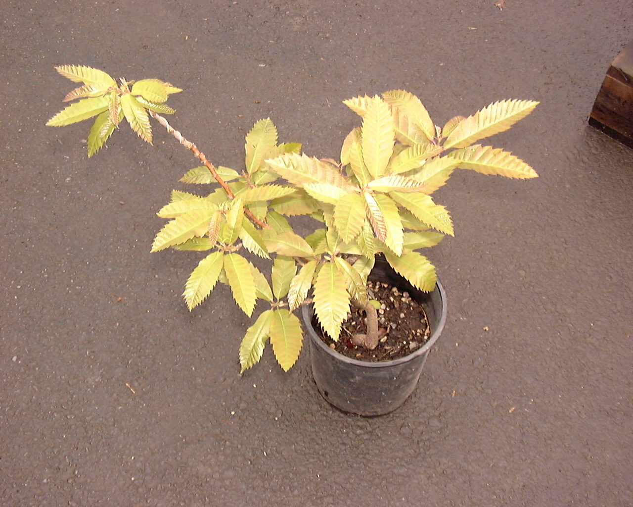 Three Year Old Chestnut Trees Grown From Seeds Sent To Us By Denise S Grandma In Northern California Click Here For More Information